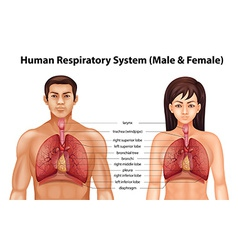 Human respiratory system vector image