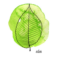 Leaf of elm tree vector