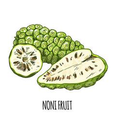 noni fruit full color realistic hand drawn vector image