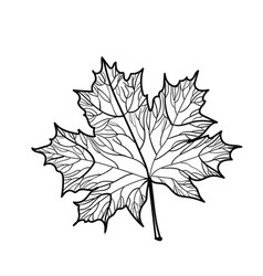 Hand drawn maple leaf isolated vector