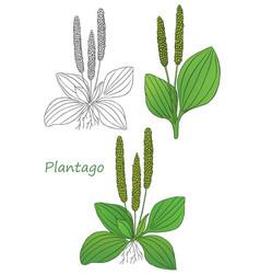green plantago vector image