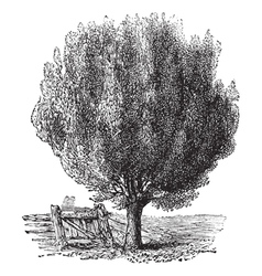 Boxwood tree vintage engraving vector