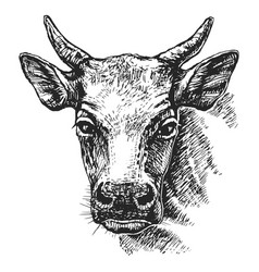Cow head sketch vector