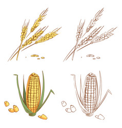 hand drawn ears of wheat and corn isolated on vector image