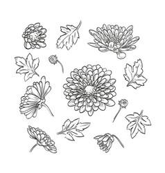 hand drawn elegant chrysanthemum vector image