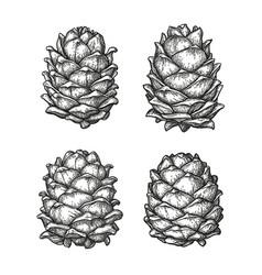 ink sketch of pine cones vector image