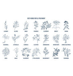 best herbs for flu treatment vector image