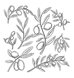 Olive branches with fruits outline vector