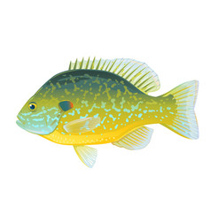 pumpkinseed sunfish vector image