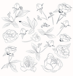 Big collection peony flowers shapes vector