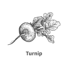 Hand-drawn turnip vector