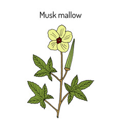 musk mallow abelmoschus moschatus medicinal vector image