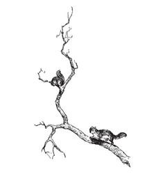 Squirrel in tree in this picture vintage engraving vector