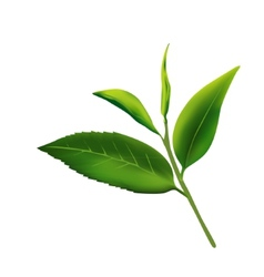 Fresh leaves of tea on a white background vector image