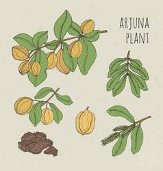 arjuna medical botanical ayurvedic tree plant vector image vector image