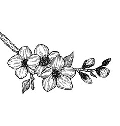 cherry blossom branch engraving vector image