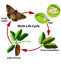 Moth life cycle diagram vector