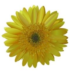 Image sunny bright yellow Barberton daisy vector
