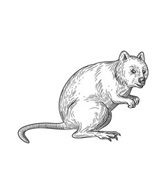 Quokka drawing black and white vector
