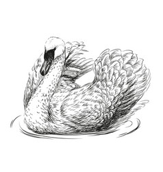 swan is swimming vector image