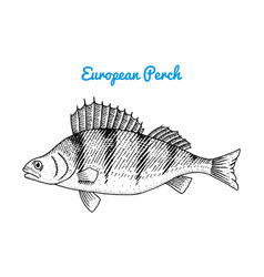 river and lake fish european perch sea creatures vector image