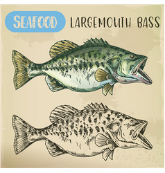 Hand drawn largemouth bass or gamefish vector