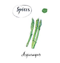 Watercolor fresh green asparagus vector