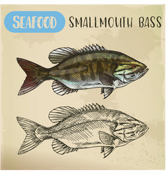 sketch of smallmouth or brown bronze bass vector image