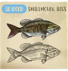 sketch smallmouth or brown bronze bass vector image