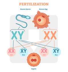 fertilization diagram with human sperm human egg vector image