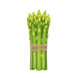 Bunch asparagus vegetable vector