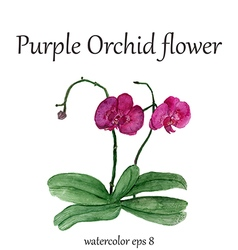 Purple orchid watercolor flower vector image