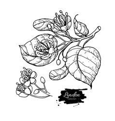 linden drawing set isolated lime tree vector image vector image