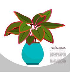 aglaonema indoor plant in pot banner vector image vector image