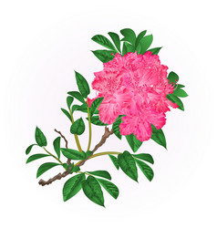 Flowers pink rhododendron twig mountain shrub vector