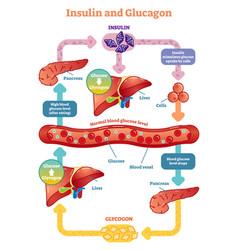 insulin and glucagon diagram vector image