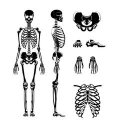 silhouette of human skeleton anatomy vector image