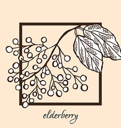 Hand drawn elderberries vector
