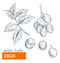 longan hand drawn vector image vector image