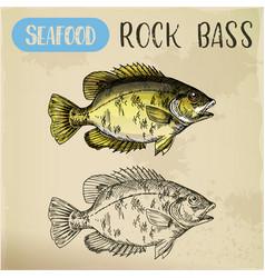 Rock bass or goggle-eye perch sketch vector