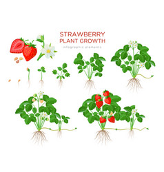 Strawberry plant growing stages from seeds vector
