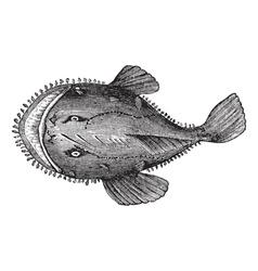 American anglerfish engraving vector image