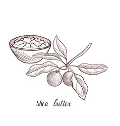 Drawing shea butter vector