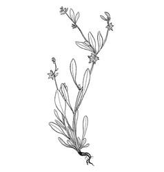 Asperugo botanical plant vector