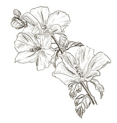 Hand Drawn Hibiscus Flower Sketch vector