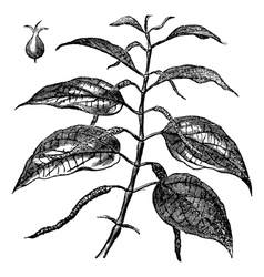 Piper betel leaves engraving vector