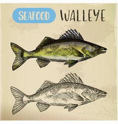 sketch walleye or perciform fish pickerel vector image