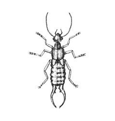 common earwig insect bug beetle in vintage old vector image