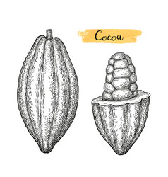 cocoa ink sketch vector image