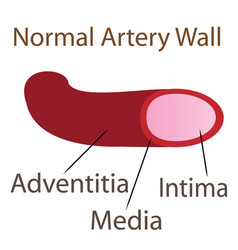 normal artery wall vector image